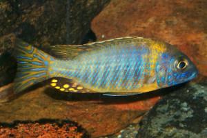Aulonocara korneliae