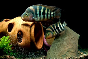 Amphilophus hogaboomorum