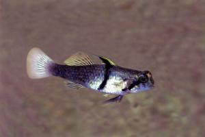 Redigobius balteatus