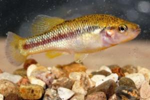 Allodontichthys hubbsi