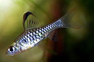 Puntius coorgensis
