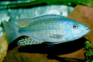 Dimidiochromis kiwinge