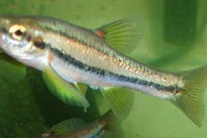 Phoxinus septimaniae