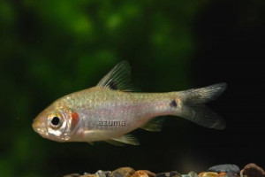 Puntius sophore