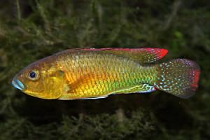 Pseudocrenilabrus philander philander