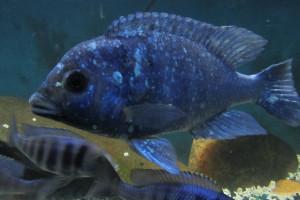 ZZ placidochromis sp phenochilius tanzania