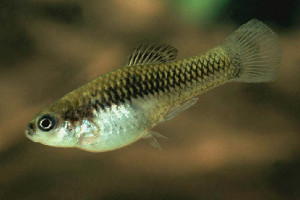 Xiphophorus couchianus