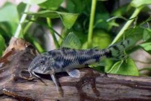 Aspidoras maculosus