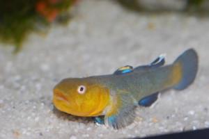 Chlamydogobius eremius