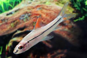 Cyclocheilichthys janthochir