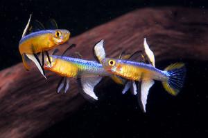 Pseudomugil cyanodorsalis