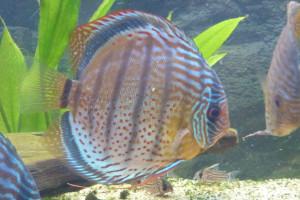 ZZ Symphysodon discus tarzoo