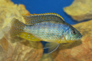 Eclectochromis ornatus