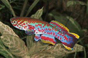 Fundulopanchax kribianus