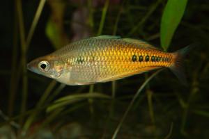 Glossolepis ramuensis