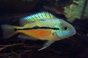 Hypsophrys nicaraguensis