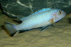 Pseudotropheus heteropictus