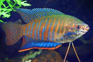 Trichogaster labiosa