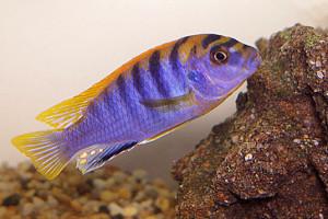 ZZ Labidochromis sp.