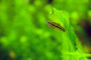 Parasphaerichthys lineatus