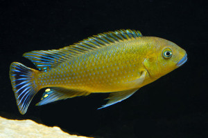 Pseudotropheus williamsi