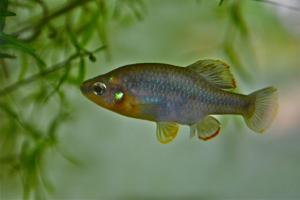 Zoogoneticus quitzeoensis