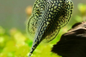 Sewellia lineolata