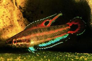 Parosphromenus allani