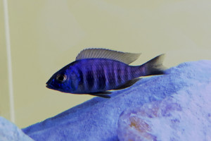 placidochromis sp. blue hongi