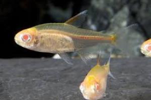 Hyphessobrycon gracilis