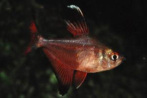 Hyphessobrycon jackrobertsi