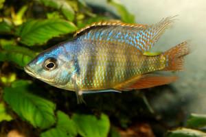 Haplochromis johnstoni