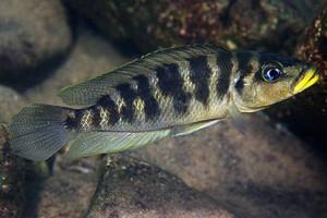 Neolamprologus fasciatus