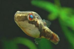 Carinotetraodon borneensis